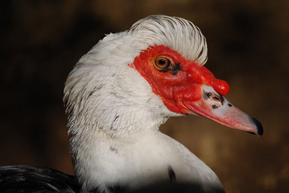 bernard le canard